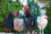 four-assorted-color-roosters-1769279.jpg