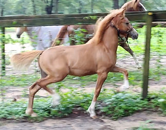 Welsh Mountain Pony Section A Filly Mare For Sale