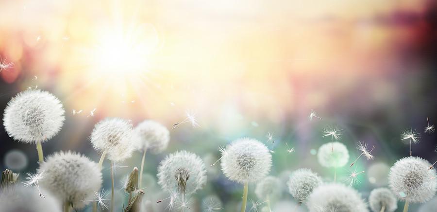 bigstock-field-of-dandelion-in-sunset--8
