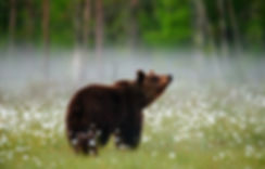 Brown bear stands in a forest clearing w