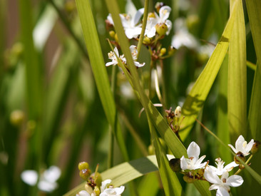 PLANT OF THE MONTH: LIBERTIA