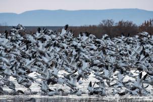 Snow Geese Blastoff