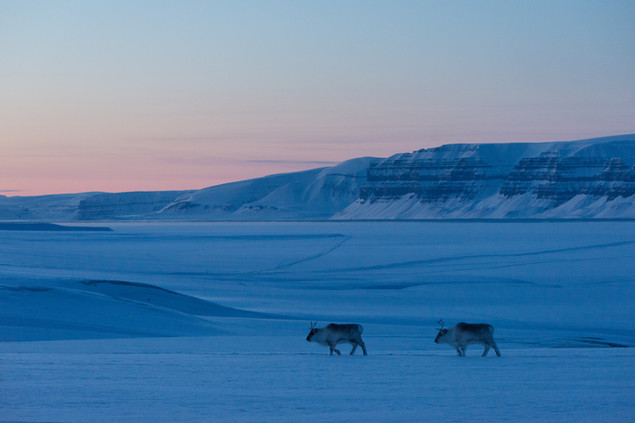 Svalbard Reinedeer
