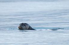 Seal at Jokulsarlon