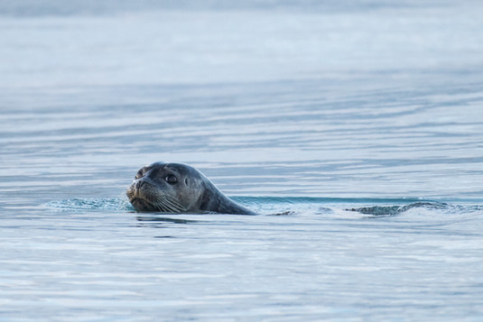 Seal at Jokulsarlon