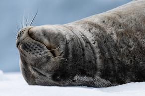 Weddel Seal on an Iceberg