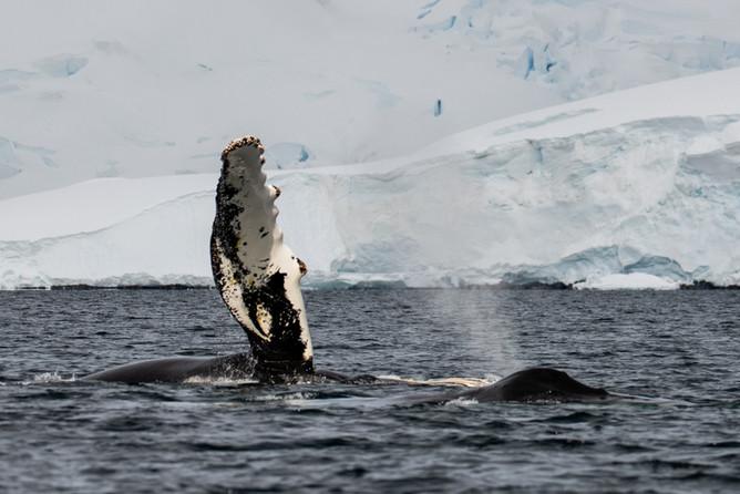 Humpback Whale Waving