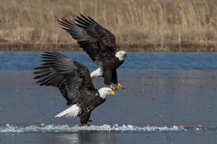 Bald Eagle Duel