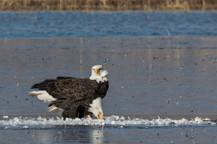 Bald Eagles on a Kill