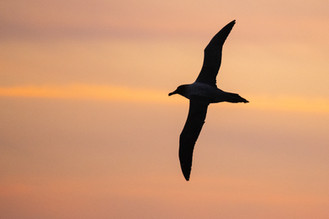 Sooty Albatross at Sunset