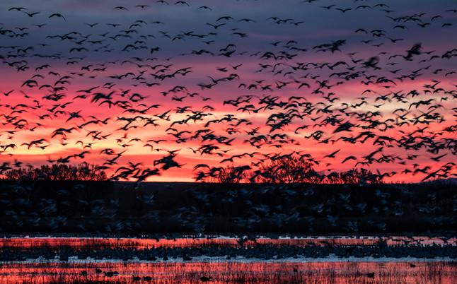 Sunrise Snow Geese Blastoff