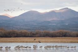 Sandhill Cranes and Mallards