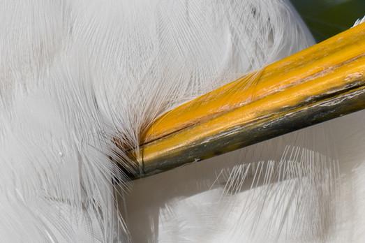 Great White Egret Preening, Florida