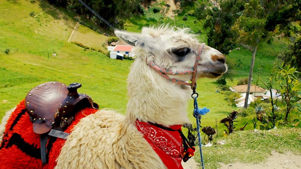 Un beau lama qui prend la pose pour vous près du site d'Ingapirca!
