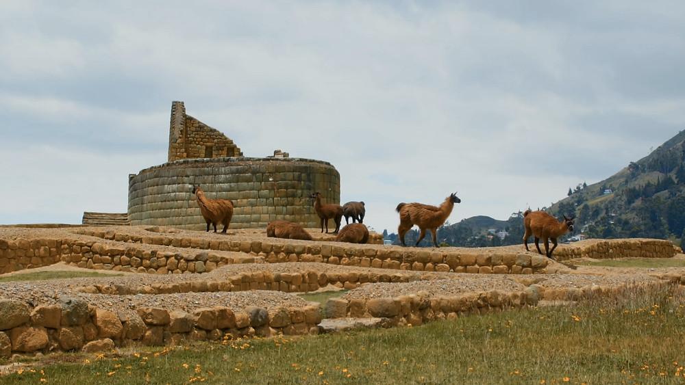 Les lamas au site d'Igapirca