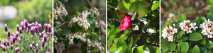 Flowers that bloom in Sydney's winter include French Lavender, Temple Bells, Camellia Sasanqua Hiryu and Rhaphiolepis Oriental Pearl.