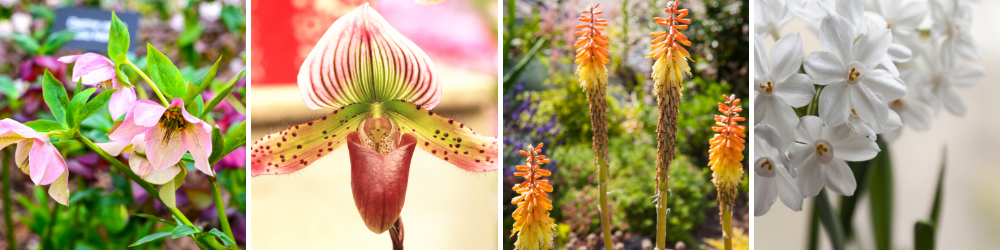 Gardening tips - 8 plants that flower in winter in Sydney, including Winter Rose, Slipper Orchid, Winter Cheer, Paperwhite Jonquils
