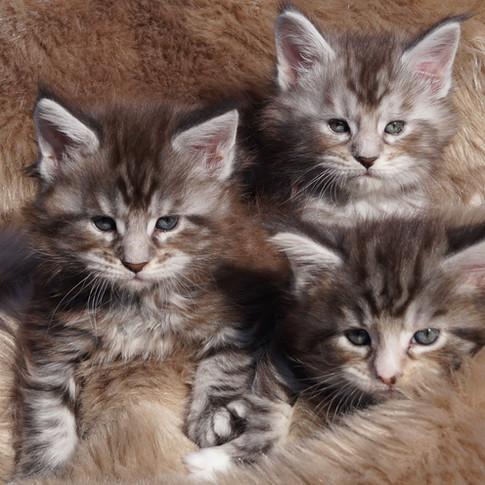 Der R-Wurf, Maine Coon Kitten
