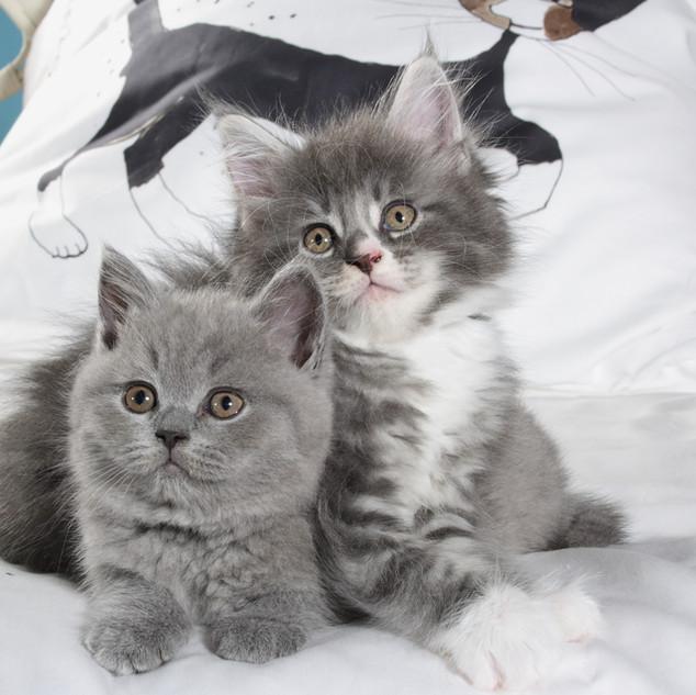 Maine Coon und Britisch Kurzhaar Katzenkinder