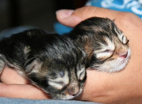 Neugeborene Maine Coon Babys