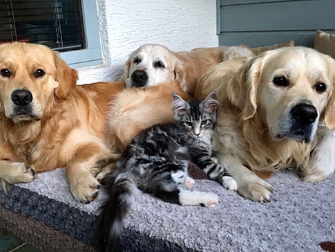 Simon, der Katzenhund- neue Rasse: Golden Coonie