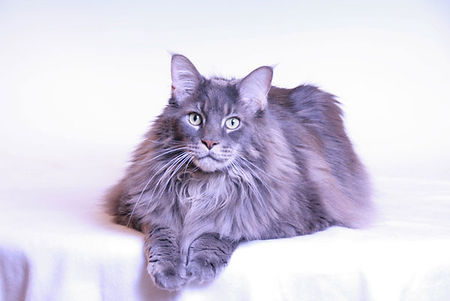 Martinelli's Maine Coon Kater Hugo