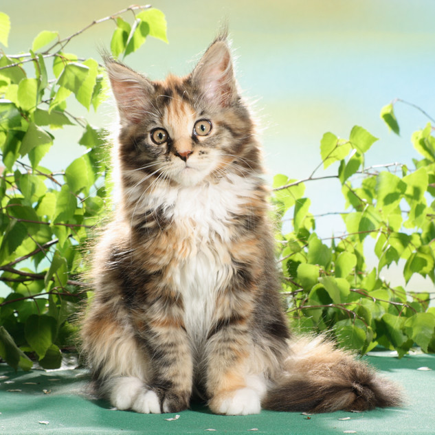 Maine Coon Baby Penny