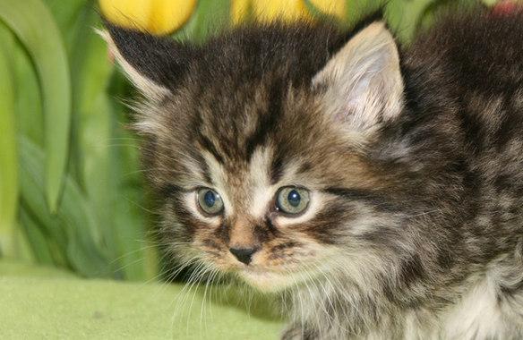 Maine Coon Kitten, Alter 4 Wochen