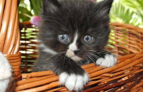 Maine Coon Baby, schwarz- weiß