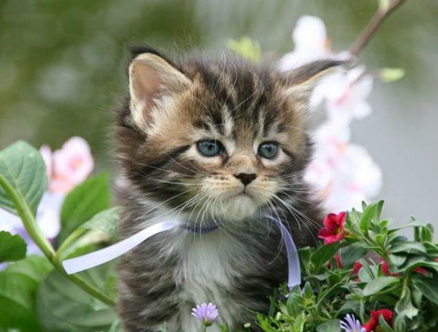 Martinelli's Main Coon Kitten
