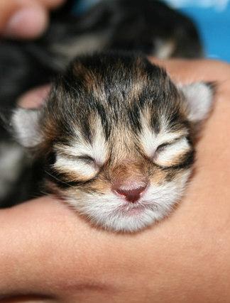 Maine Coon Baby , Neugeborenes