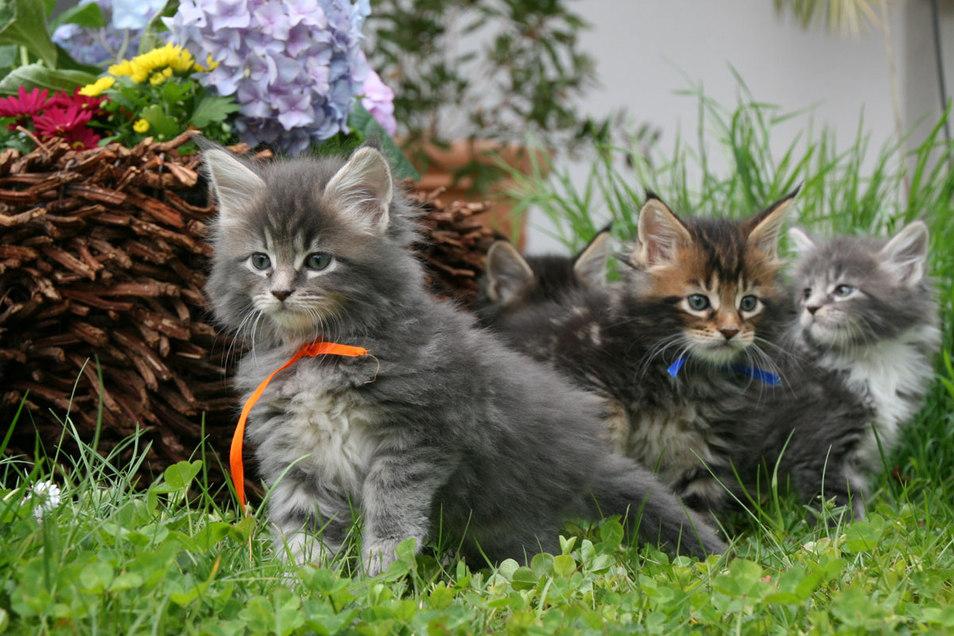 Maine Coon Babies, Kitten, Katzenkinder