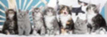 Martinelli's Maine Coon Katzenbabys