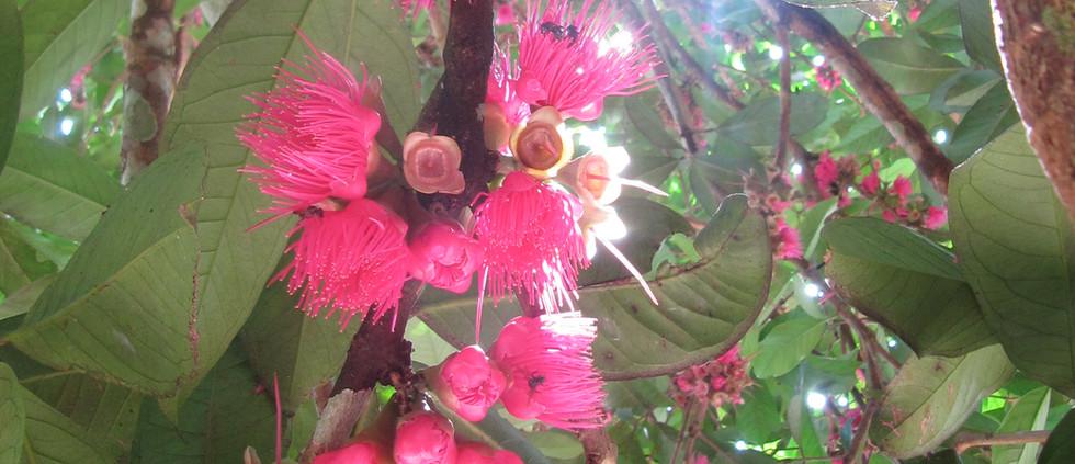Pomarrosa Tree