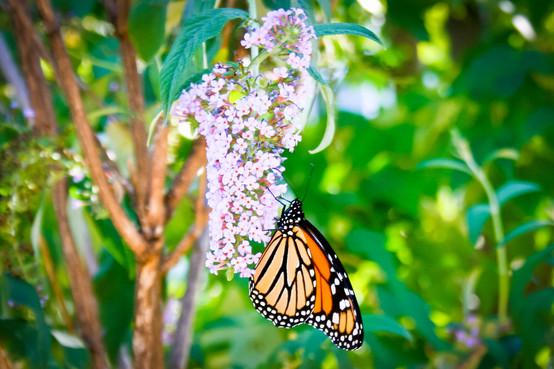 Monarch Butterfly | Artis Moon