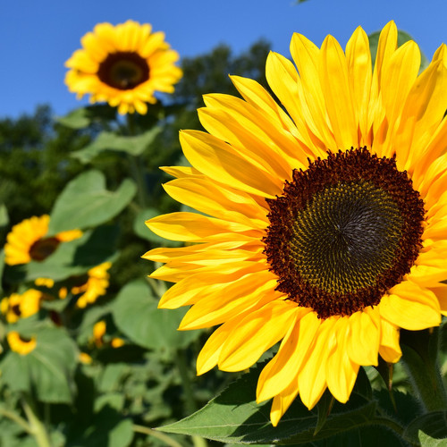 Plant your own sunflowers