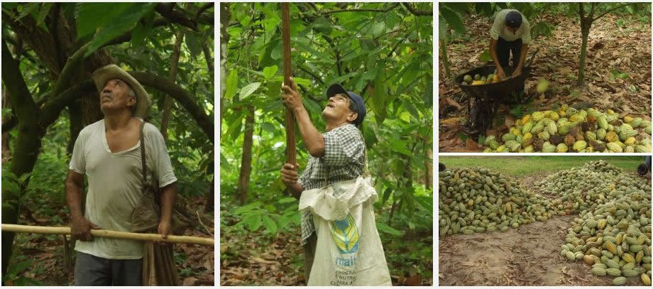 Harvesting Cocao Beans