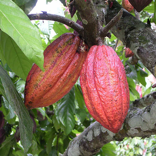 Cacao Trees with Pods