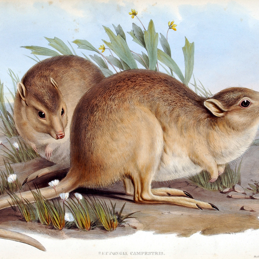 Painting of live desert rat kangaroos from John Gould's Mammals of Australia (image in the public domain).