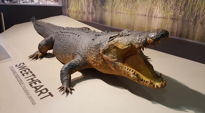 Sweetheart the crocodile