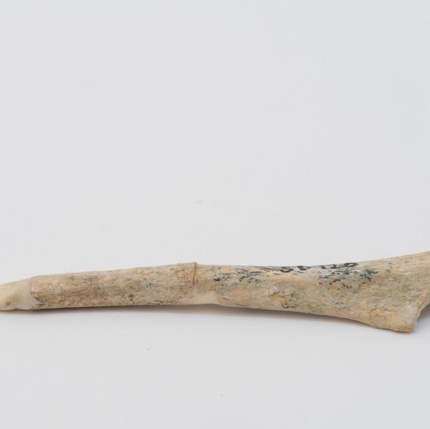 Baru bone fossils for Photogrametry and 3D printing. Photo: Merinda Campbell © MAGNT