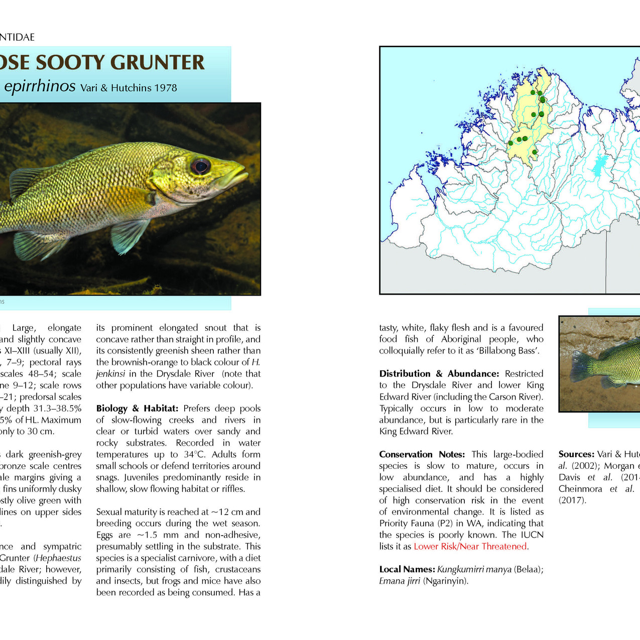 Sample – species account of the Longnose Sooty Grunter, a fish endemic to the Kimberley