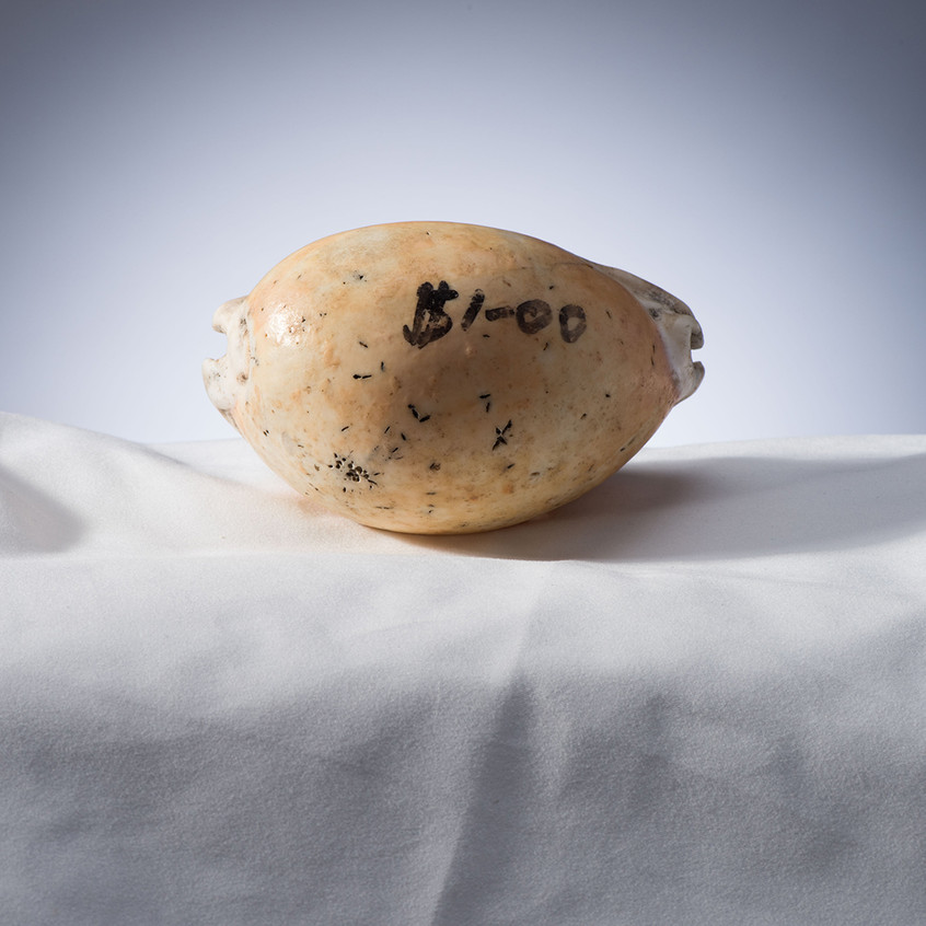 Side view of MAGNT Golden Cowrie shell P.27328. Photo MAGNT.