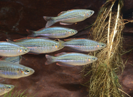 NEW FIELD GUIDE TO THE FRESHWATER FISHES OF THE KIMBERLEY
