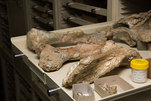 From the stores Megafauna fossils MCAPal