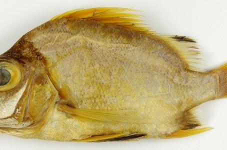 AUGUST: Timor Sea Banjofish