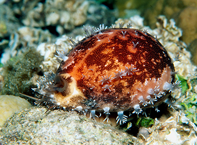 Living Golden Cowrie photographed in its natural habitat at night. The mantle is completely covering the shell. Photo Scott & Jeanette Johnson.