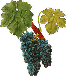 Carignane Grape