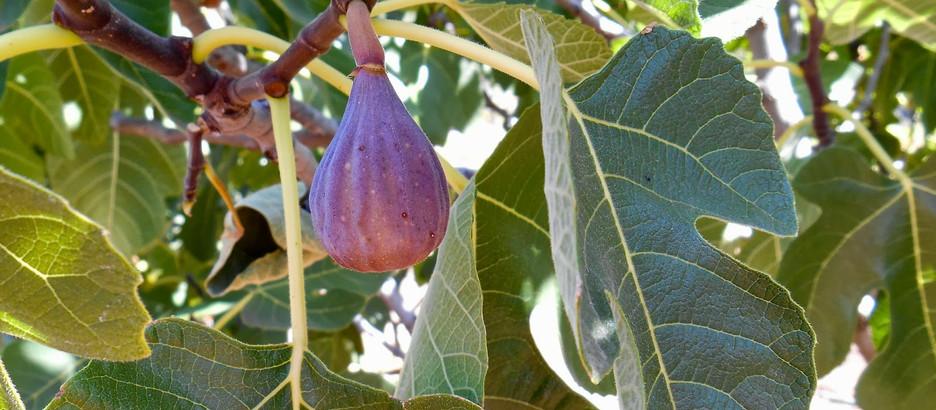 Neighborhood Fig Program