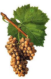 Grenache Blanc Grape